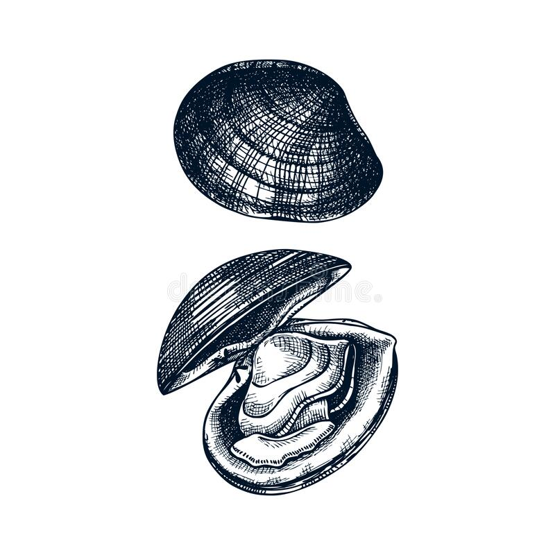 Free Cooked Atlantic Surf Clam Illustrations. Edible Molluscs. Shellfish And Seafood Restaurant Design Element. Hand Drawn Sea Clams Stock Image - 171334371