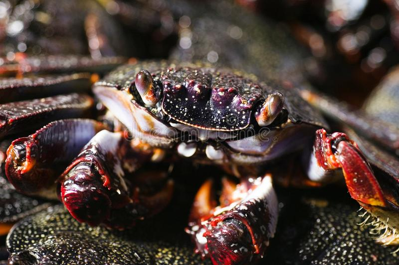 Download Cooked crab stock photo. Image of crab, crustacean, fear - 3032654
