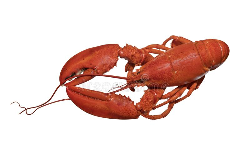 Cooked Lobster. A cooked Atlantic lobster, isolated on white royalty free stock image
