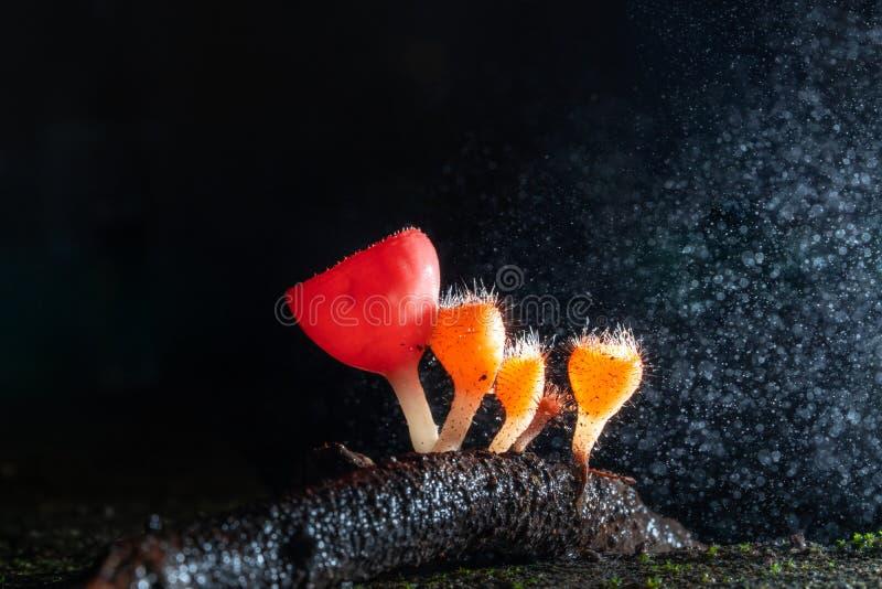 Cookeina蘑菇宏观摄影在雨林,微小的橙色Cookeina蘑菇的 图库摄影