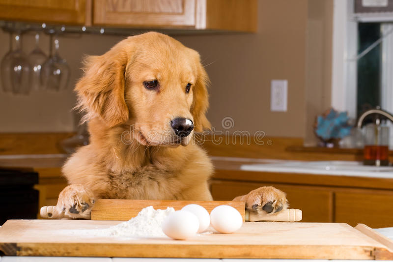 Cooking dog royalty free stock photo