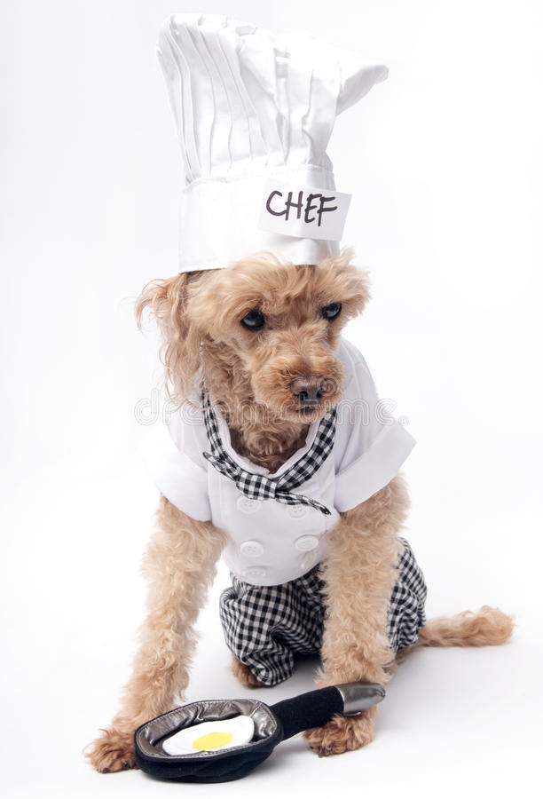 Cooking An Egg. A poodle dressed up as a chef cooking an egg, isolated on a white background royalty free stock photo