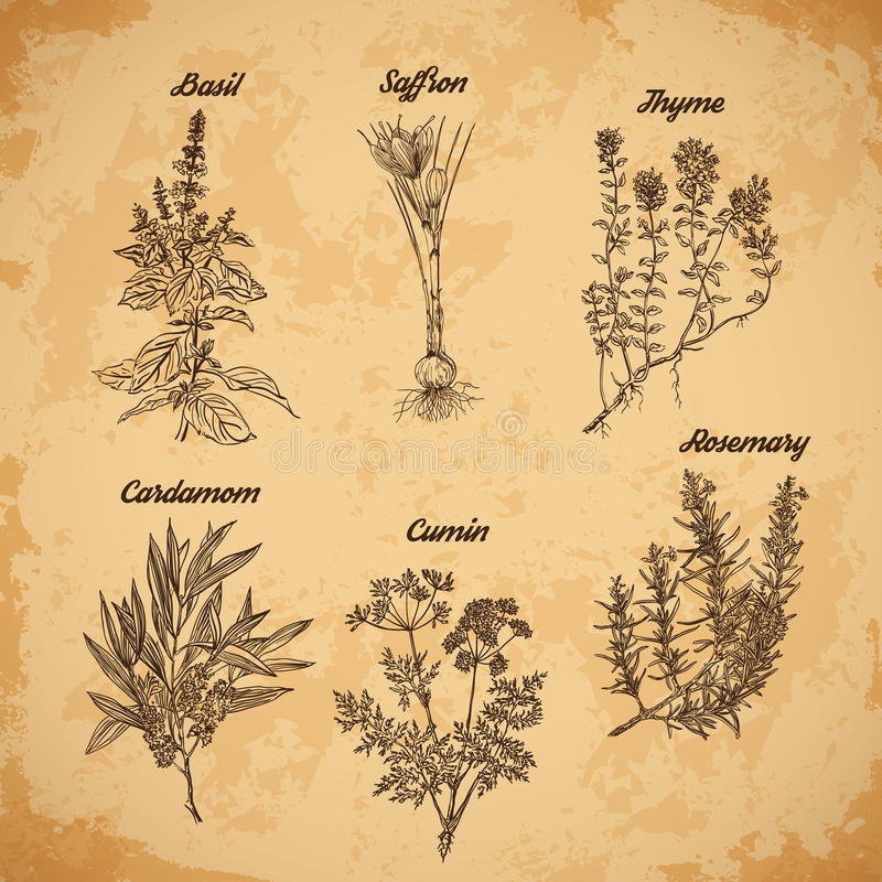 Cooking herbs and spices. Rosemary, thyme, cardamom, saffron,basil, cumin. Retro hand drawn vector illustration. stock illustration