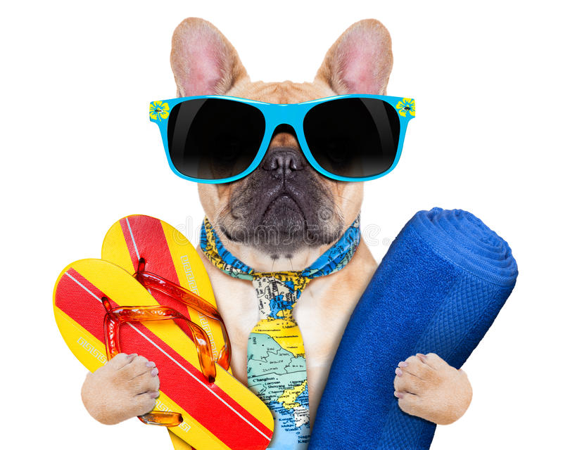 Cool beach dog. Fawn bulldog with flip flops and towel , wearing a tie and sunglasses, isolated on white background stock images