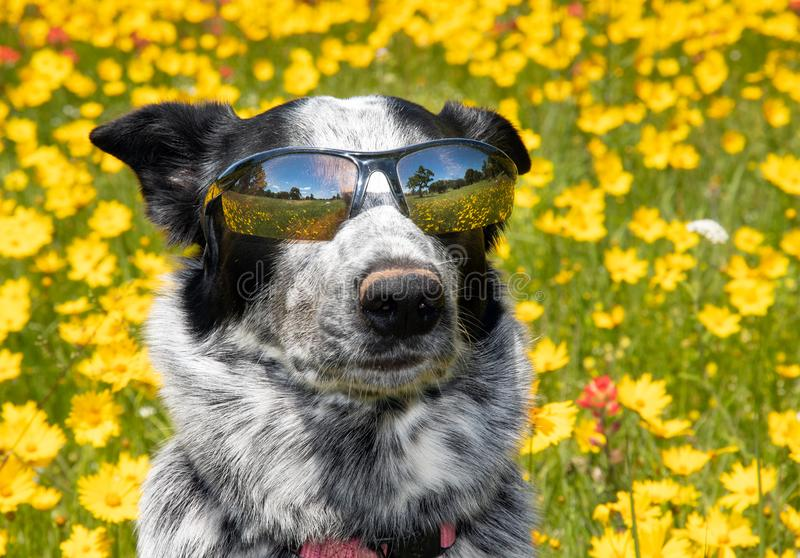 Cool black and white dog wearing shades on a sunny day, royalty free stock photo