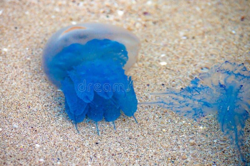 Cool, blue, Barrel Jellyfish. Rhizostoma octopus pulmo. Laying on the sand stock image