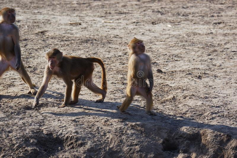 Cool monkeys standing upright showing chest. Cool brown hairy three monkeys standing upright showing chest sand outdoors stock image