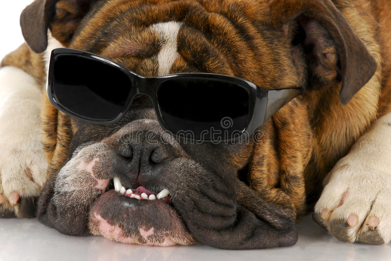 Download Cool dog stock image. Image of close, shades, portrait - 16930219