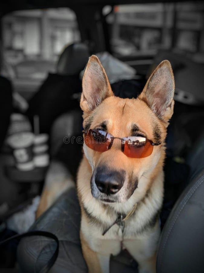 cool dog summer pets shades royalty free stock images