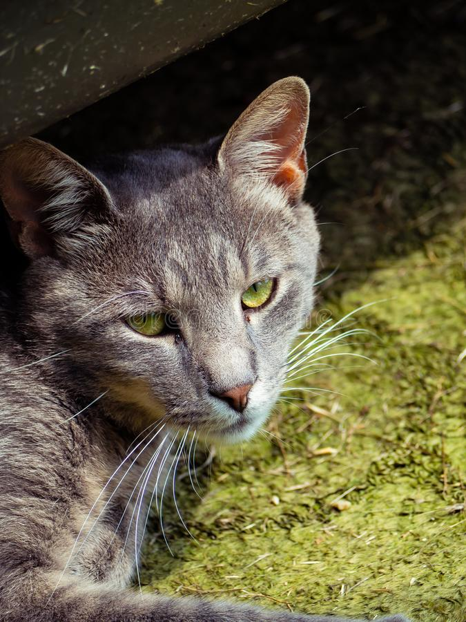Cool gray stray cat with pretty green eyes. Cool gray stray cat with green eyes stock photos