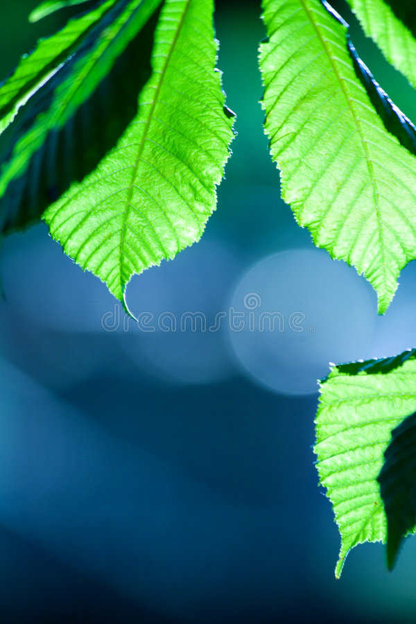 Cool green leaf background. Photo of a green leafs with interesting blue background, nice texture and cool depht of field royalty free stock images
