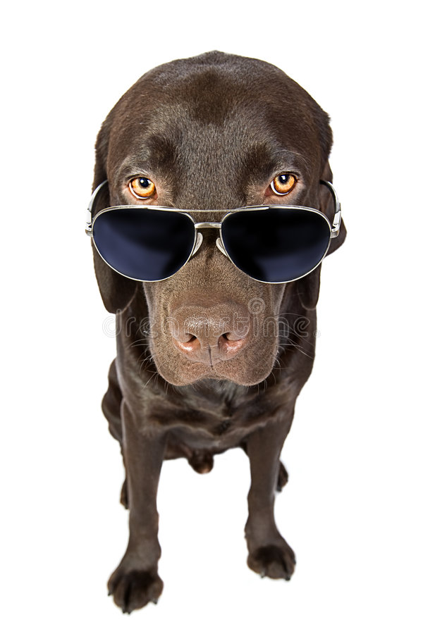 Cool Labrador in Sunglasses royalty free stock photography