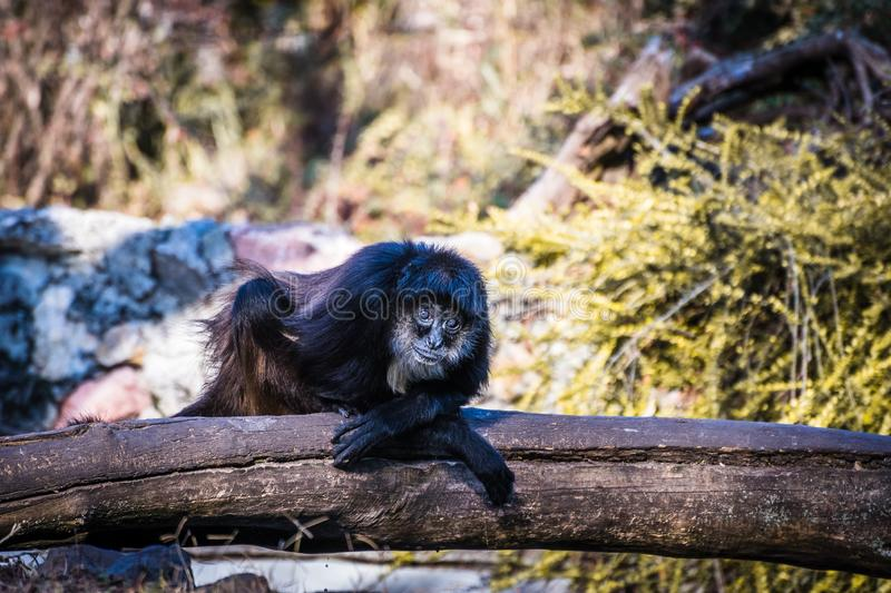 Cool monkey sitting on wood. Cool funny monkey sitting on wood and looking at camera and smiling royalty free stock photography
