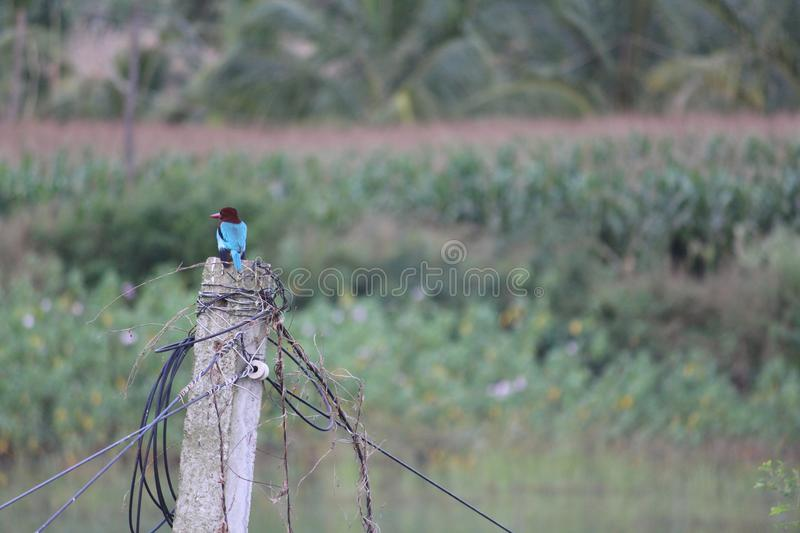 A cool picture of an indian kingfisher with a long beak. Perches on a pole and poses at the camera right in front of maize plant stock photos