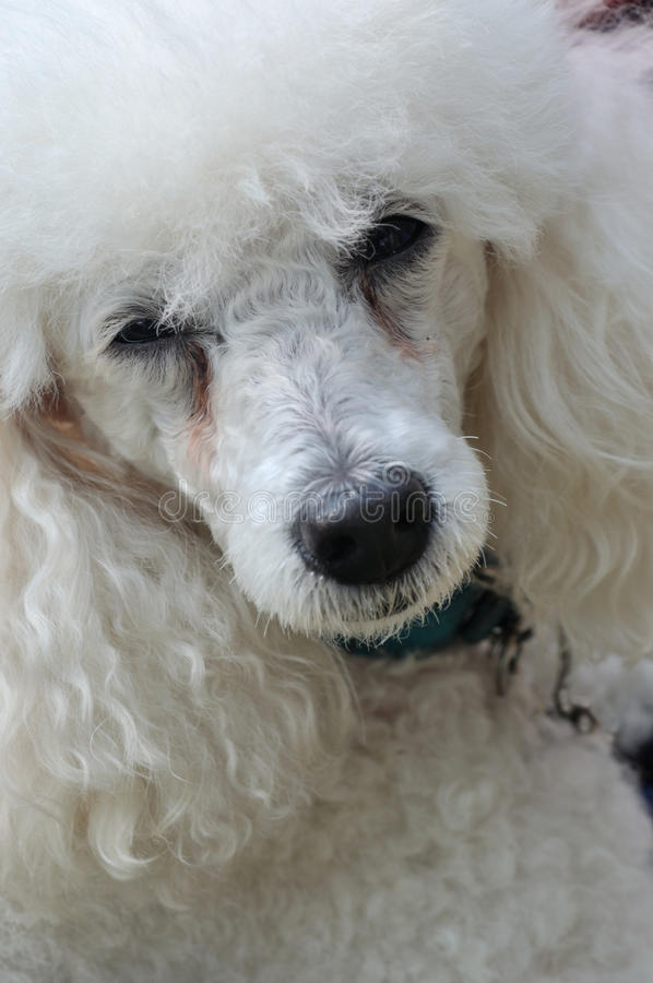 Cool poodle dog. A beautiful white poodle dog, with snow white fur and cool eyes stock photography