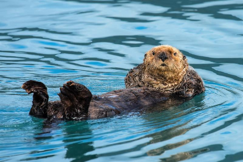 Cool position - Relaxing and watching, Sea Otter stock photo