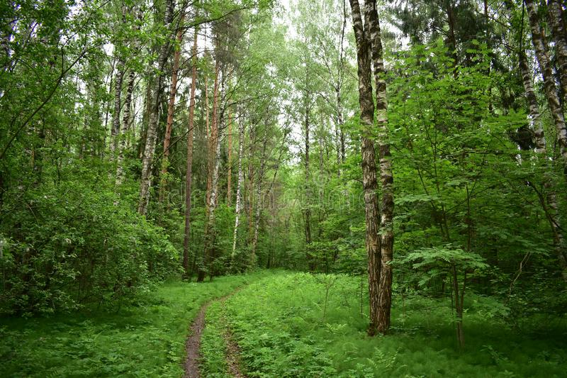 Cool summer forest trail between the thinning trees of the birch trees stock photos