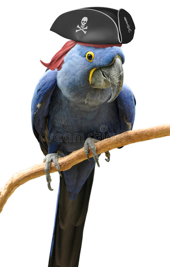 Cool and unusual pirate parrot bird portrait stock image