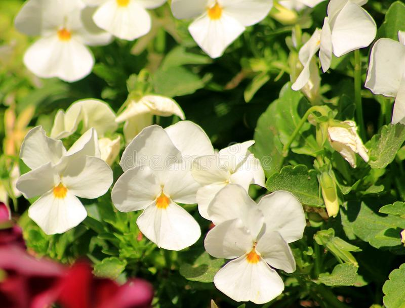 Cool Wave White Pansy is a hardy plant stock image