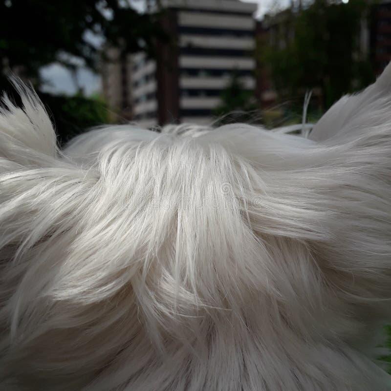 Cool westie ears. Doggo, fur, fancy, westy, highlandshop stock photos