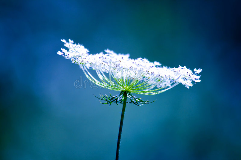 Cool white flower. Cool fragile white flower with blue background stock images