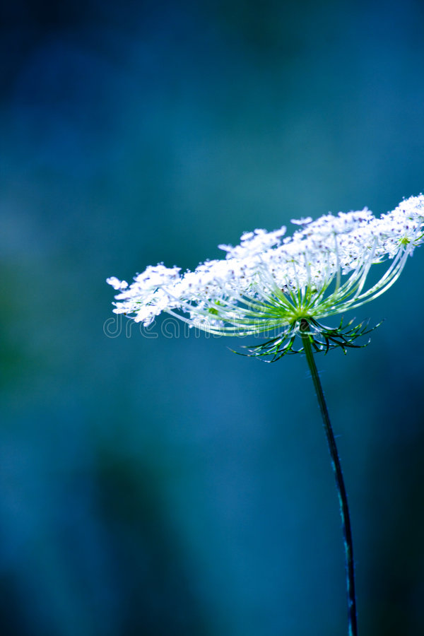 Cool white flowers. Cool fragile white flowers on a blue background royalty free stock photography