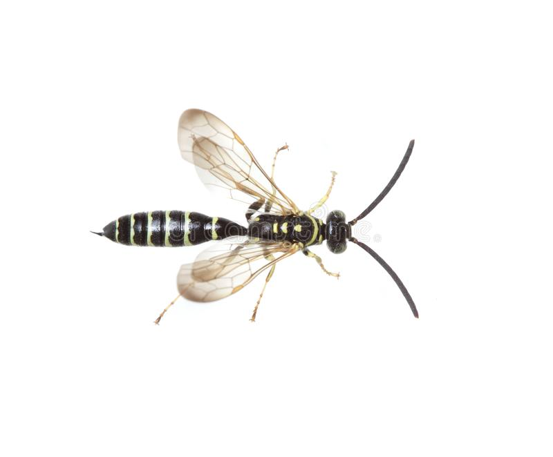 Yellow and black wasp on white. A cool yellow and black Thynnid wasp from central Florida, USA, photographed on a white background stock image
