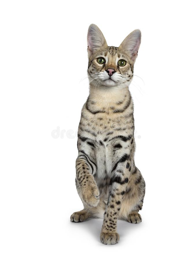 Cool young adult Savannah F1 cat, Isolated on white background royalty free stock images