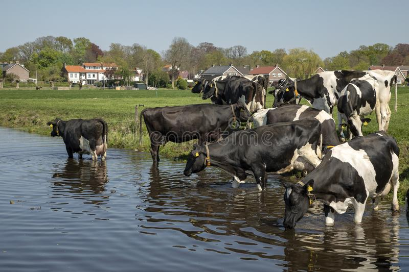 Cooling down, group of cows going to swim, standing in a creek, drinking, on the banks of a ditch stock images