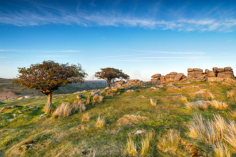 Coombestone Tor. Stunted Hawthorn trees at Commbestone Tor on Dartmoor National Park in Devon stock photos