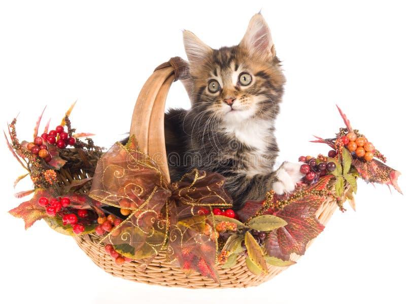 Coon de Maine en cesta del otoño de la caída foto de archivo