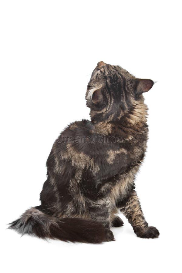 Coon de Maine, gato de tabby preto fotografia de stock