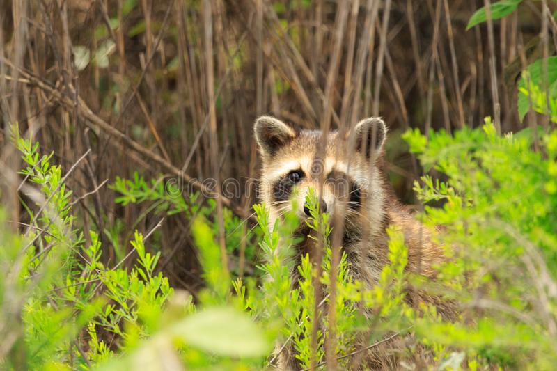 Coon Eyes. A cute mamma Raccoon peeking out of the brush to see if I was gone yet after it popped up from the creek bed as we were walking through the Bald Knob stock photo