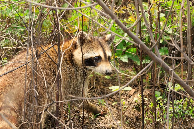 Coon Eyes. A cute mamma Raccoon popped up from the creek bed as we were walking through the Bald Knob Wildlife Refuge in Bald Knob, Arkansas 2017 royalty free stock images
