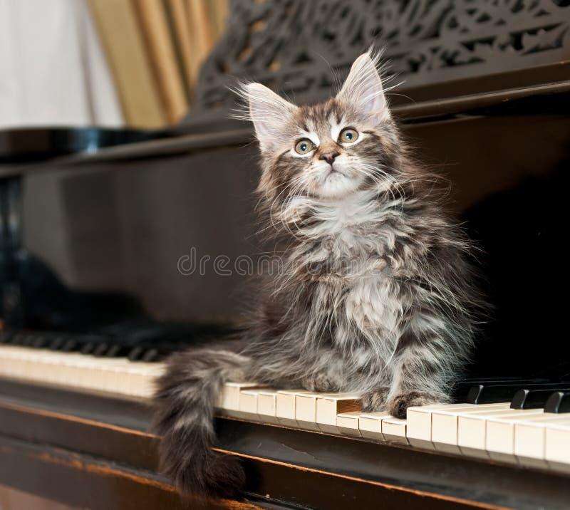 coon figlarki Maine pianino zdjęcia royalty free