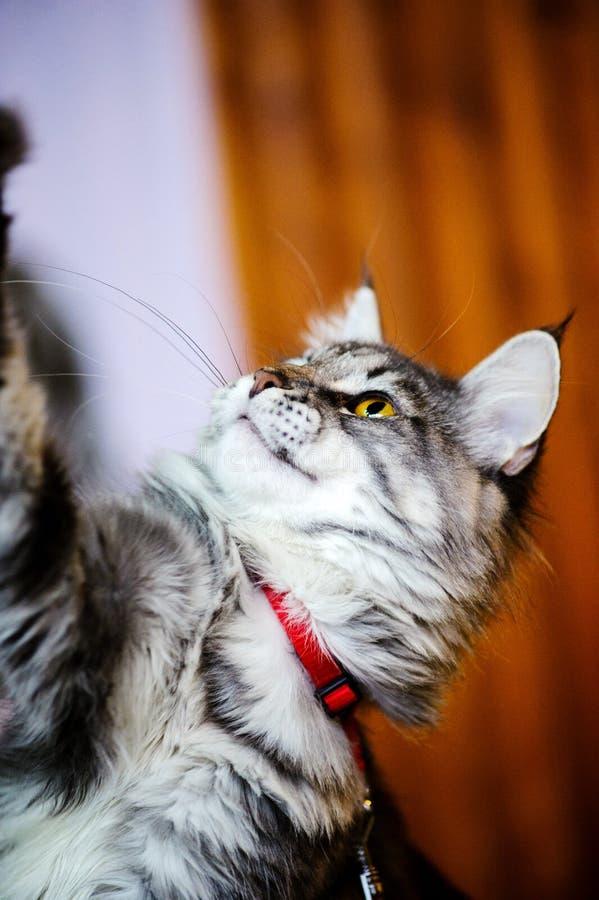 coon maine Den st?rsta katten En stor katt arkivbilder