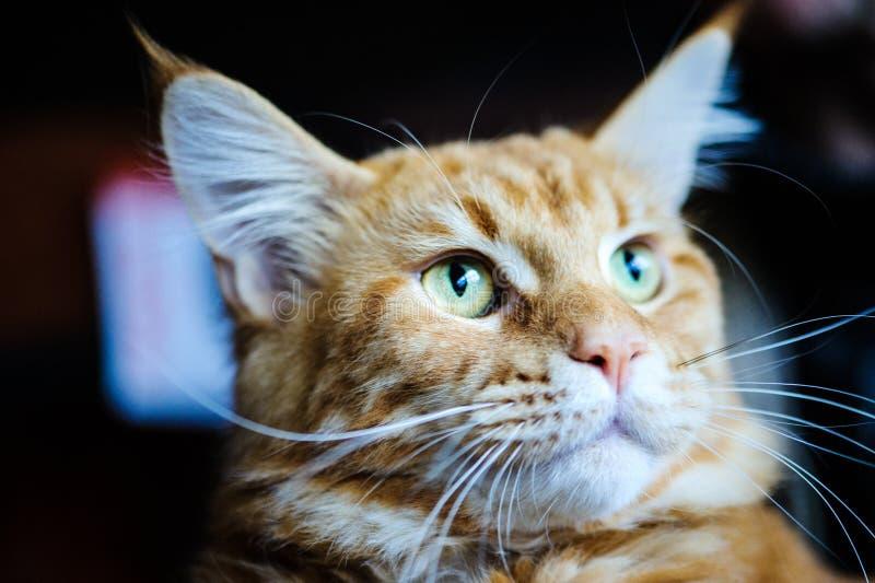 coon maine Den st?rsta katten En stor katt royaltyfri bild