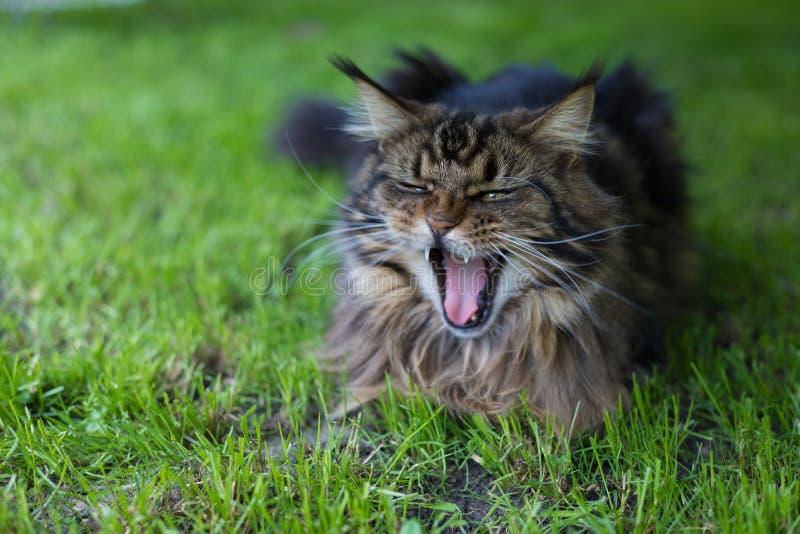 coon maine Det största kattsammanträdet på gräset royaltyfri fotografi