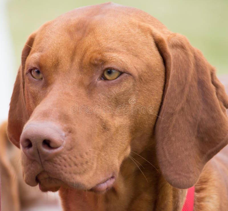 Coonhound rouge d'os photographie stock