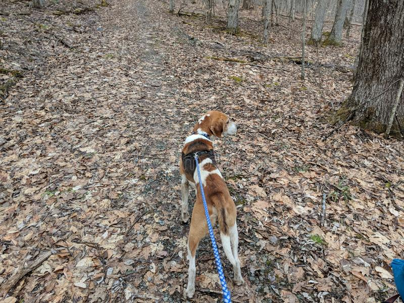Coonhound in the Woods for a Walk stock photography
