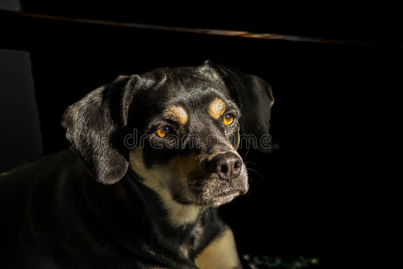 Coonhoundmengeling stock foto