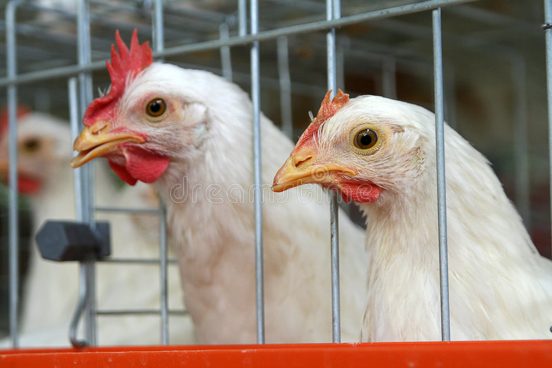 Cooped birds. Caged egg-laying chickens in poultry farm stock image