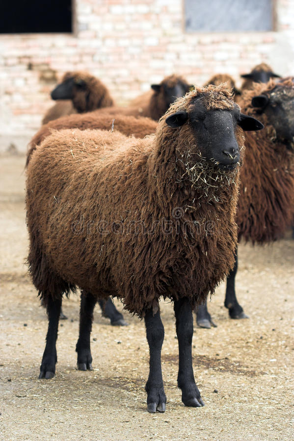 Cooper-red sheep stock photography