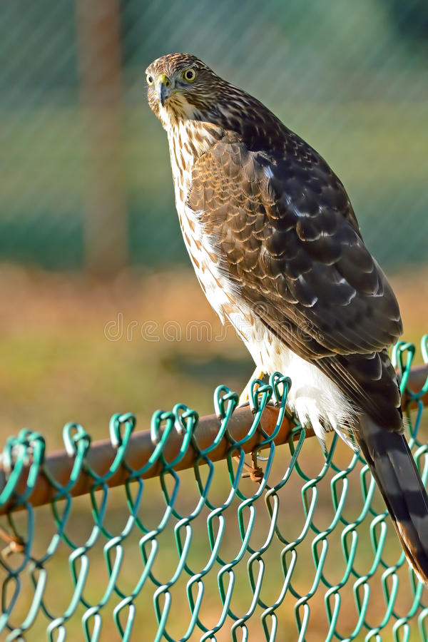 Download Cooper's Hawk Stock Images - Image: 22266554
