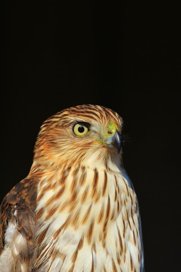 Cooper`s Hawk - Eyesight Power stock photography