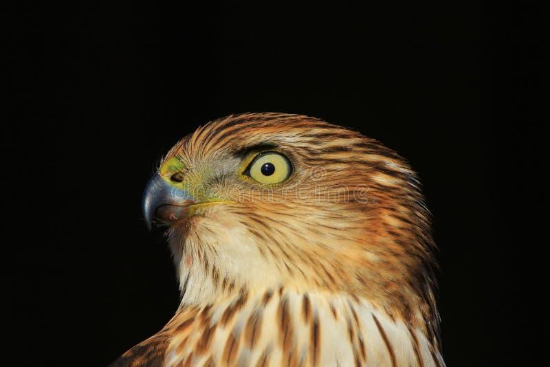 Cooper`s Hawk - Golden Stare stock photo