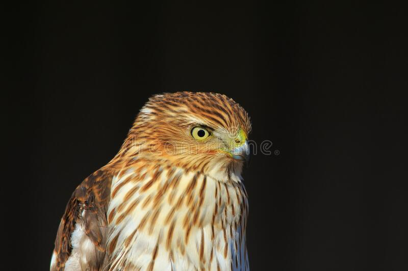 Cooper`s Hawk - Life Look royalty free stock images