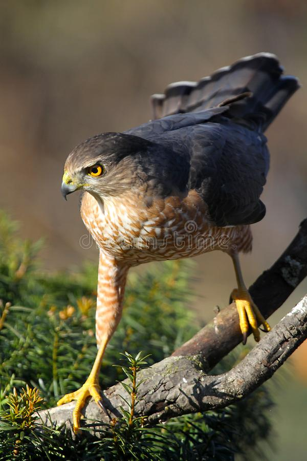 Cooper`s Hawk, Poised for Predation. Cooper`s hawk Accipiter cooperii is a medium-sized hawk native to the North American continent. Other common names for the royalty free stock photography