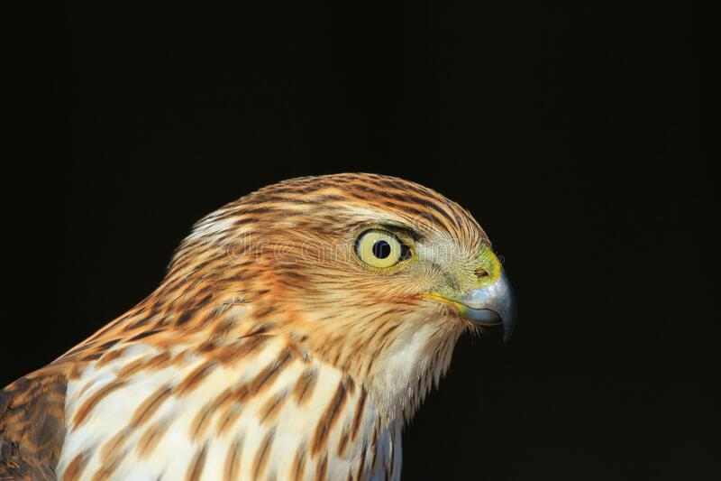 Cooper`s Hawk - Raptor Focus royalty free stock photo