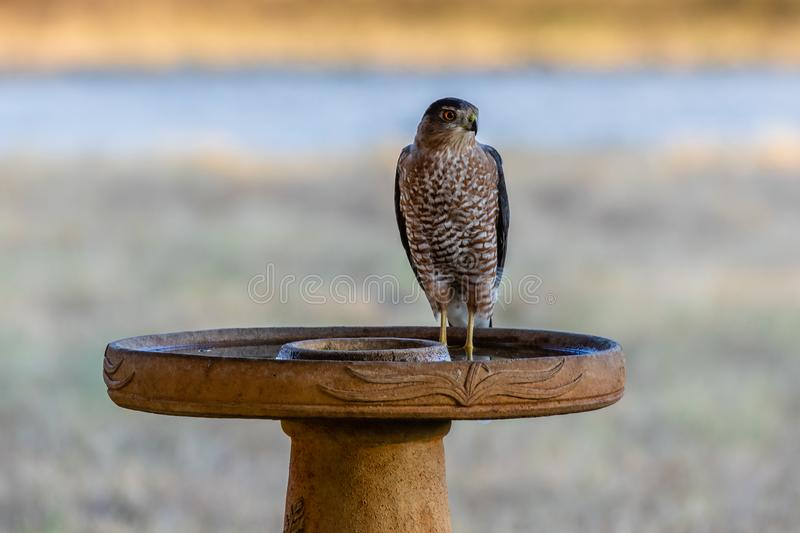 Cooper`s Hawk standing in a bird bath. On a hot summer day in Texas stock photo